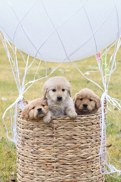 Cute balloon basket of adorable #Golden #Retriever puppies. #goldens #retrievers #dogs #puppies #pets #animals