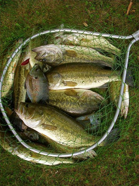 Evening catch net full of largemouths and a couple of for Blue bass fish