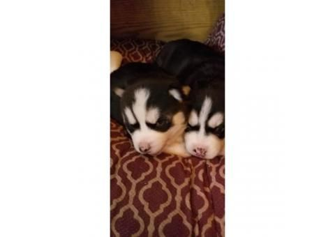 Super Sweet Husky Puppies In Bend Oregon Puppies For Sale Near