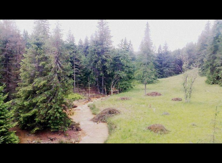 peaceful firry - pine