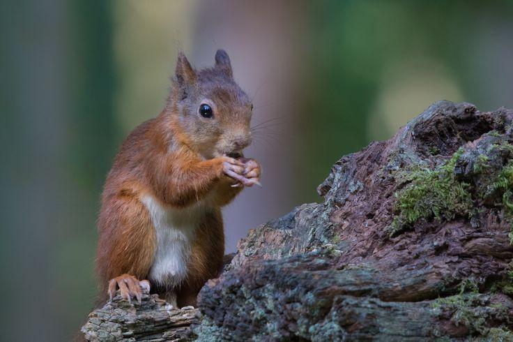 https://flic.kr/p/FS2rVj | Red Squirrel - Eekhoorn (Sciurus vulgaris) ..... | Een perfecte dag samen met Henriëtte en Margreet in de Boshut Clinge in Zeeland .....  Boshut Clinge