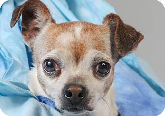 Pictures of Dudley a Chihuahua for adoption in Colorado Springs, CO who needs a loving home.