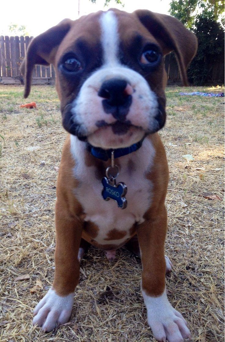 Rosko the boxer pup. http://ift.tt/2cXouJz