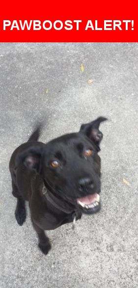 Is this your lost pet? Found in Wilmington, NC 28405. Please spread the word so we can find the owner!  Black lab/ pit bull not sure which is a closer resemblance. Very friendly, loves people!  Nearest Address: Gordon Rd and Brookfield