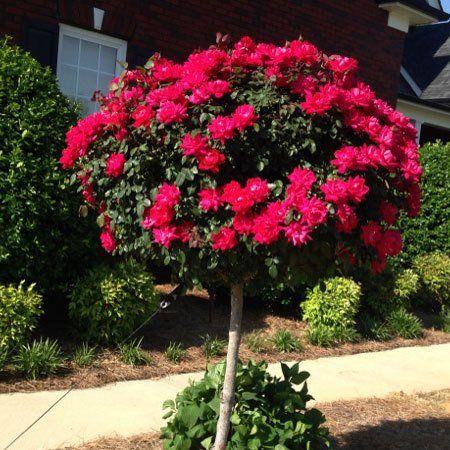 28 best crepe myrtle images on pinterest flowering trees for Flowering ornamental trees zone 5