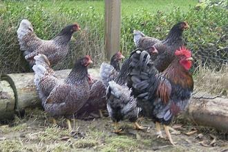 Blauw dubbel gezoomde Barnevelder kriel kippen