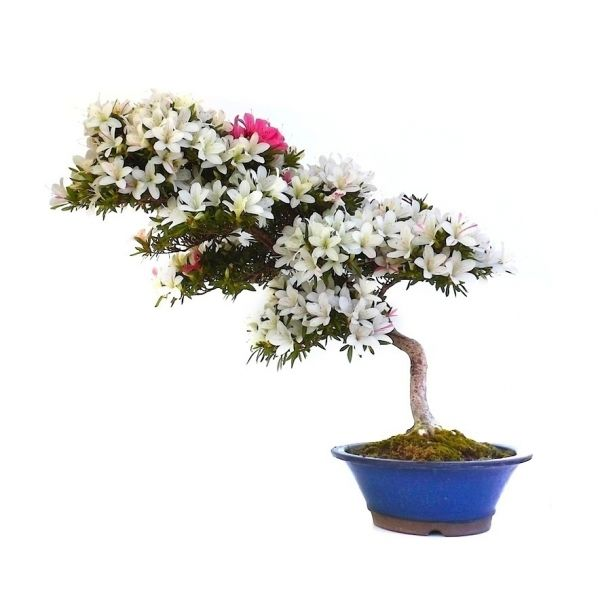 Die besten 25 bonsai azalea ideen auf pinterest for Bonsai hydrokultur