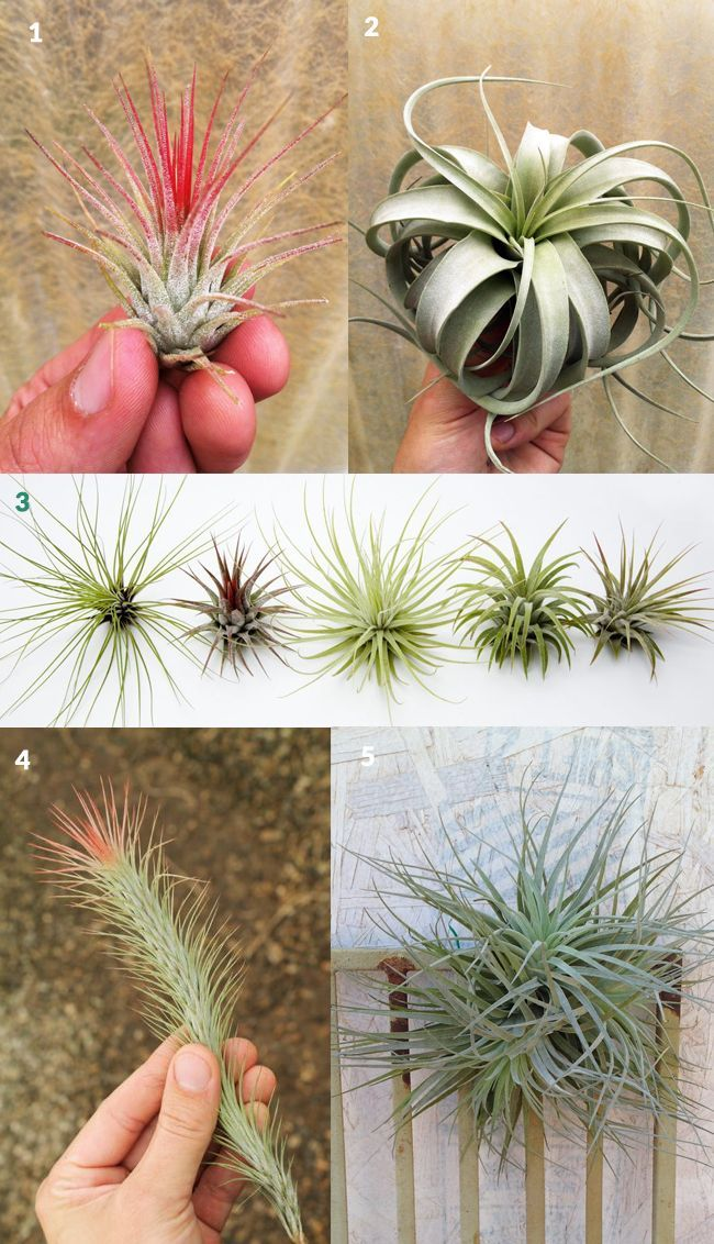 stunning house plants delivered. Gifts For Tillandsia aka Air Plant Lovers  Here are lots of gift choices for the tillandsia air plant lover Find out how to creatively display care 12 best Tillandsias We Sell images on Pinterest plants
