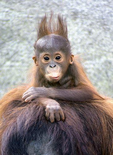 baby orangutan - Google Search