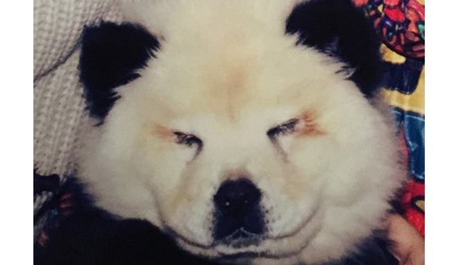 Pretty sad for someone to out of their way to imitate an Italian chow chow puppy to look like as exotic panda bear. It was worth painting the dogs ears black for the price of his consequence.