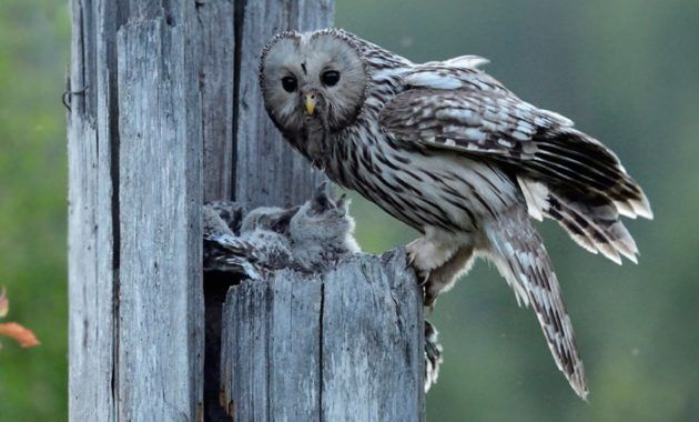 11 Fascinating Animals That Start With The Letter U Owl Baby