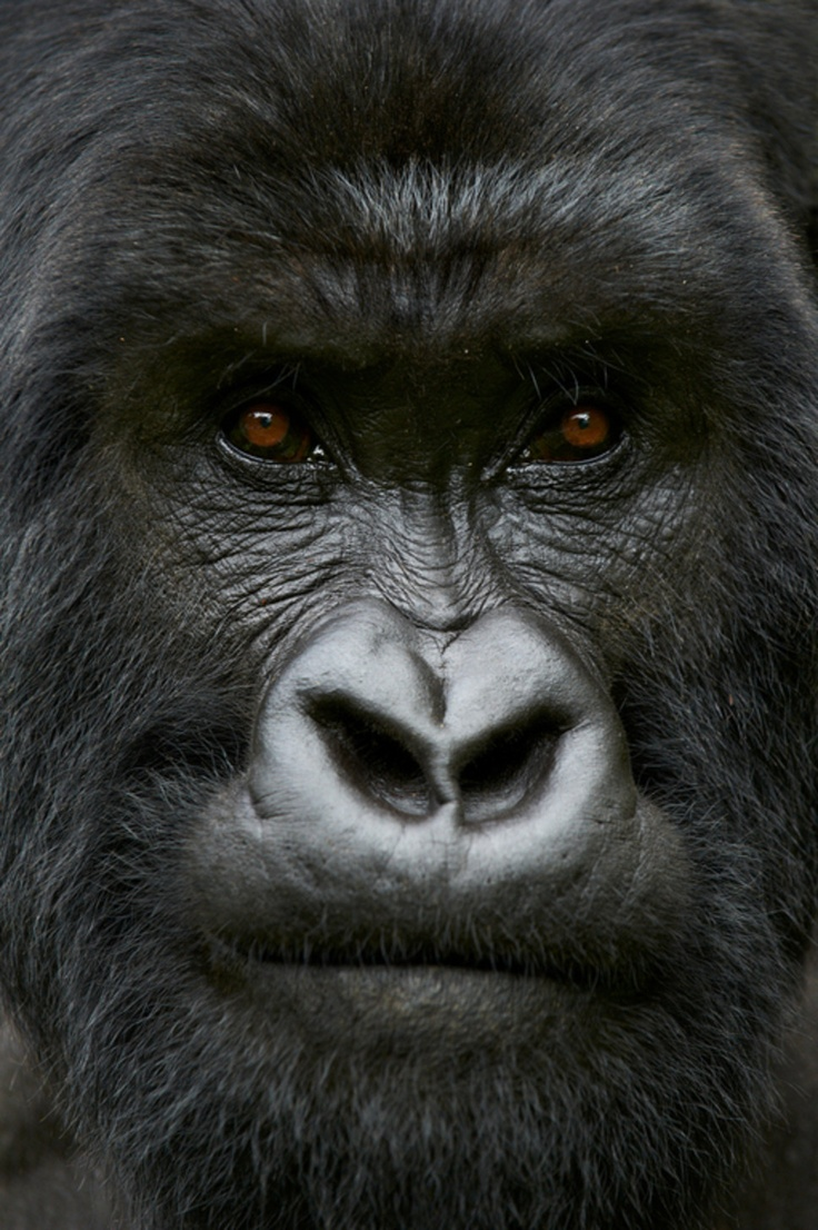 Mountain gorilla,Rwanda, By Thierry Riols    Just try to tell me you don't see intelligence in those eyes.