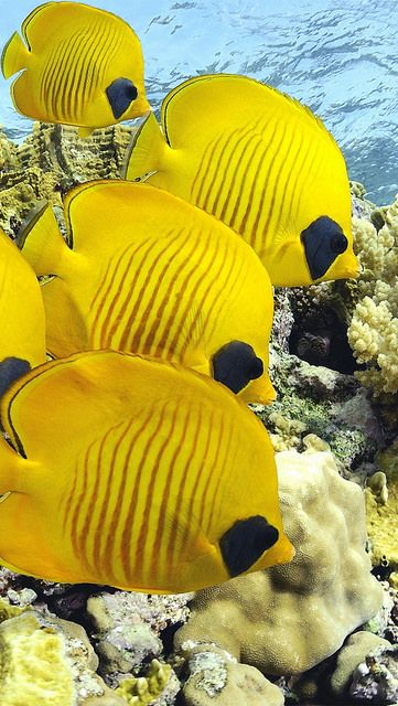 Sea Life - School of Butterfly fish.