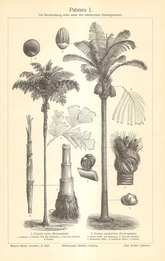 1905 Palm Trees  Toddy Palm Sugar Palm by CabinetOfTreasures