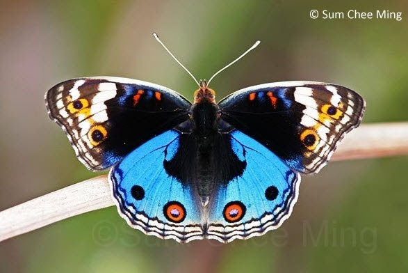 Butterflies of Singapore: Life History of the Blue Pansy