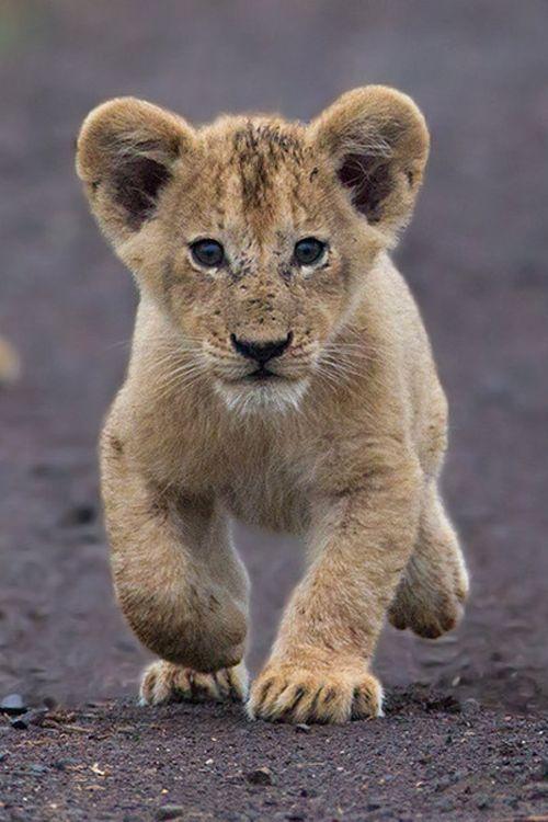 Lion Cub ~ By Hendri Venter