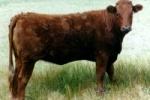 SALORN es una raza originaria de Estados Unidos.  Esta raza se la utiliza en la producción de carne.