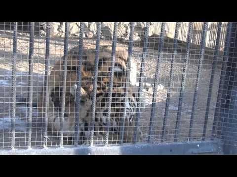 Бурый медведь ЛьВы Тигры Жирафы и Волки   Роев Ручей Красноярск