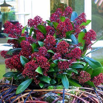 Winter Skimmia Rubella - 1 shrub Buy online order yours now