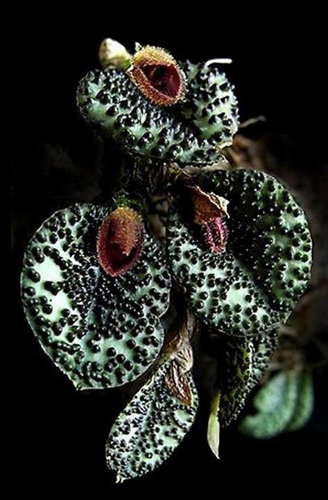 Exotic orchid ~ Pleurothallis dodsonii Luer 1976
