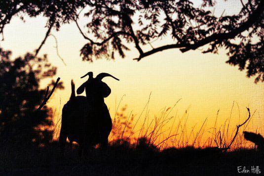 Lovely sunset silhouette from Eden Hill's farm.