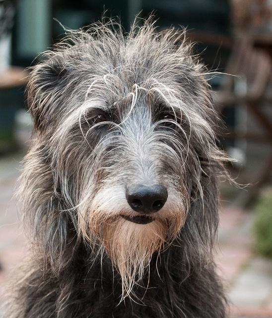 17 Best images about SCOTTISH DEERHOUND on Pinterest ...  Deerhounds