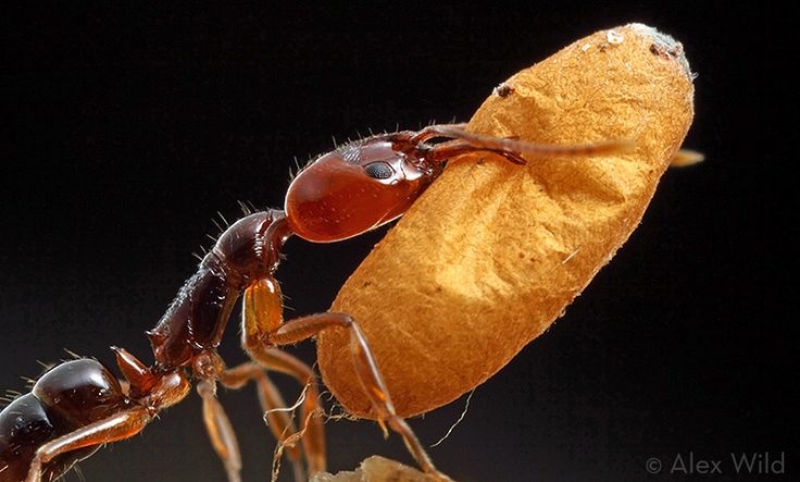 Queen ants are a beautiful example of how form evolves with function