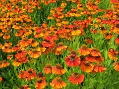 """Helenium x hybridum """" Sahin´s Early Flowerer """" ® - záplevák Zahradnictví Krulichovi - zahradnictví, květinářství, trvalky, skalničky, bylinky a koření"""
