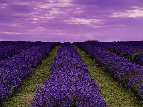 French Lavender fields ♥♥♥♥♥: Lavender Fields, Beautiful, Purple Passion, Color Purple, Purple Fields, Fields Forever, Lavender, Garden, Photography