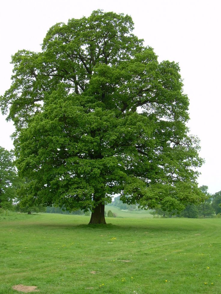 Full size picture of English Oak, Truffle Oak, Pedunculate Oak (Quercus robur)