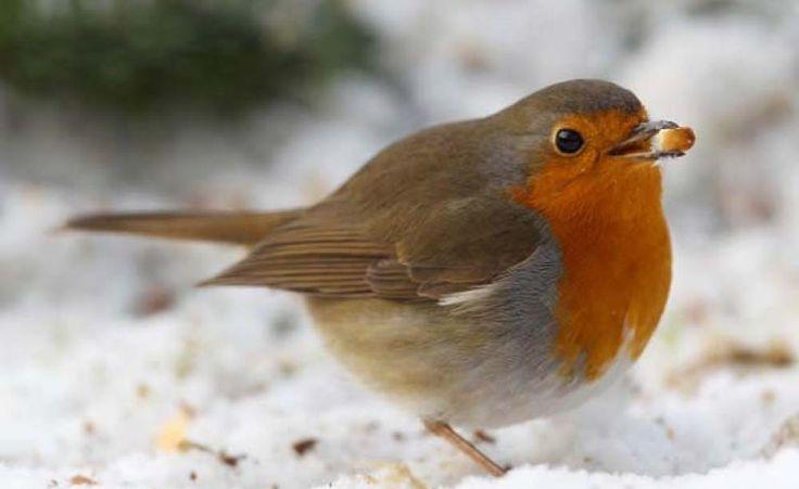 Vögel im Winter richtig füttern -  Die Winterfütterung am Futterhäuschen hilft den heimischen Vögeln über die kalte Jahreszeit. Und auch Sträucher und Kleinbäume mit Früchten bieten im naturnahen Garten nicht nur Schutz und Nistmöglichkeiten, sondern auch eine natürliche Nahrungsquelle.