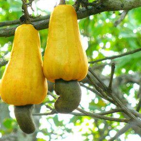 Nucile de caju sunt nuci, semințe sau fructe