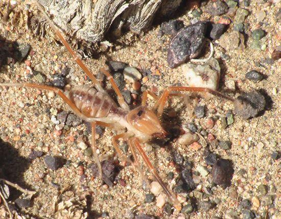 """7 animais quase inofensivos, porém muito assustadores : o  solífugo. que conhecido também como """"aranhas solares"""" ou """"escorpiões do vento"""" são peseudo-aranhas agressivas e podem picar um homem , mas seu veneno não pode matar ."""