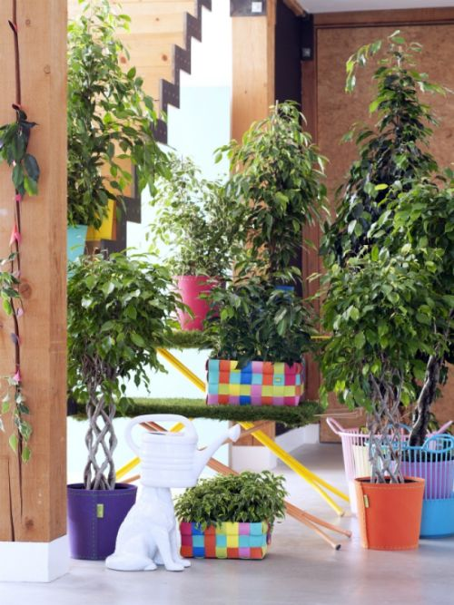 Ficus OHF 1