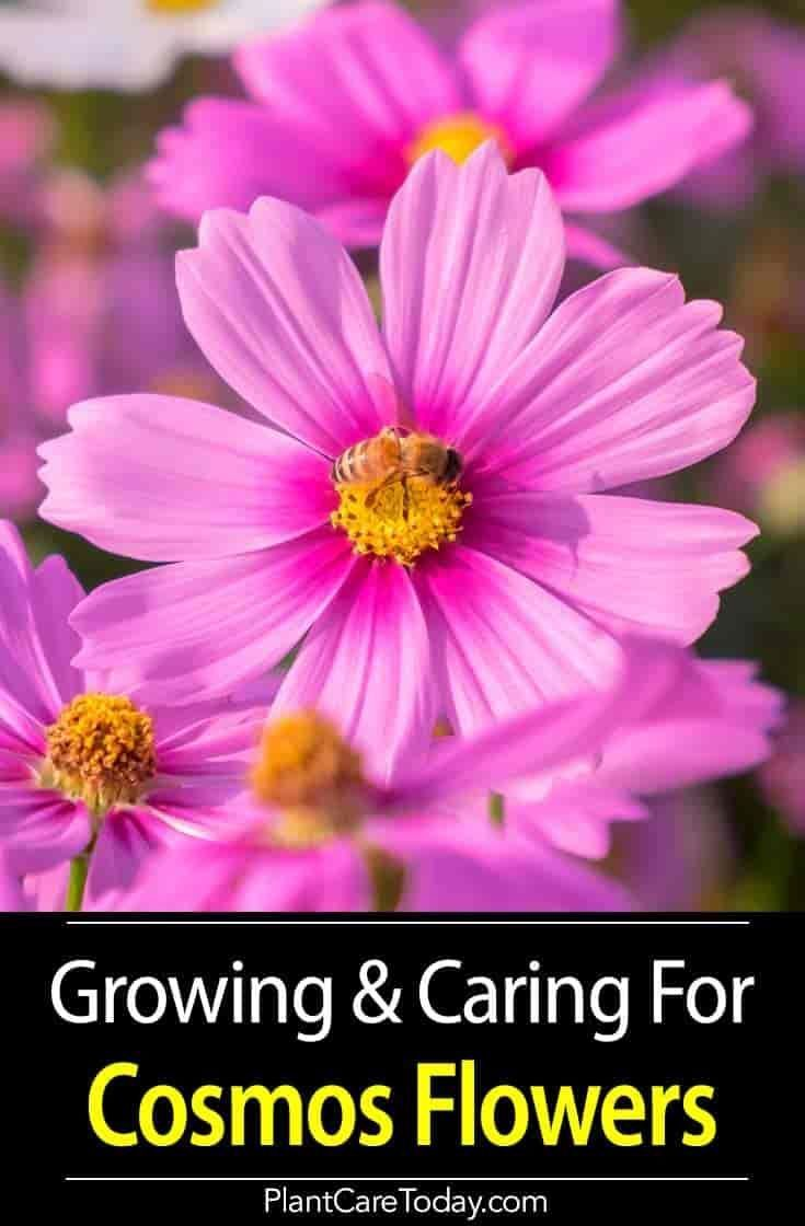 Cosmos Flower Growing And Care For The Cosmos Plant Cosmos Plant Cosmos Flowers Planting Flowers