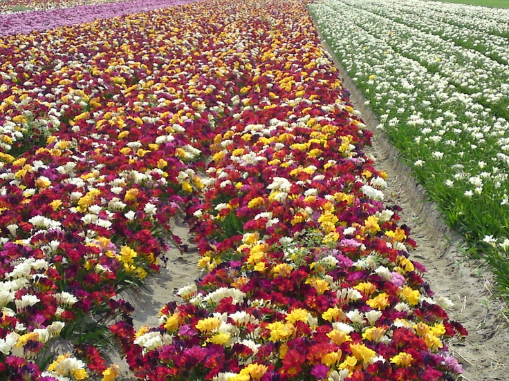 Mixed freesia fields in Northern Holland, July 2012