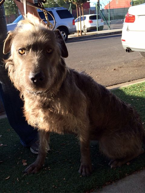 MARCUS! <3 Irish Wolfhound & Terrier Mix • Adult. Medium. Downtown Dog Rescue Los Angeles, CA. Courtesy listing for the Jason Heigl Foundation - 45 lbs, fully grown & needs a loving home! Approx 3 yrs, this handsome guy has been in training to improve his self-control & moderate a naturally excitable nature. Made a lot of progress, now walks well on leash & complies w/ basic commands! The JDHF has worked w/ K9s Only to help Marcus become the gentleman that he is meant to be. CONT...