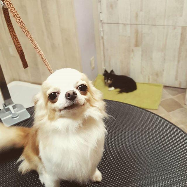 クリームチワワんと、ブラックのチワワンのコンビ🐶。 テーブルのクリームチワワんは、シャンプーが終わって笑顔満面😆ですが、 ブラックチワワんは、シャンプーがニガテなので、しょんぼり😒してます。 シャンプーしてキレイになってママに褒めてもらおね!  #チワワ #ドッグハグ #豊洲 #勝どき #東京 #トリミング #グルーミング #ドッグフード #愛犬 #仔犬 #わんこ #ふわもこ部 #ワンコなしでは生きていけません会 #犬バカ部 #doghug #tokyo #toyosu #kachidoki