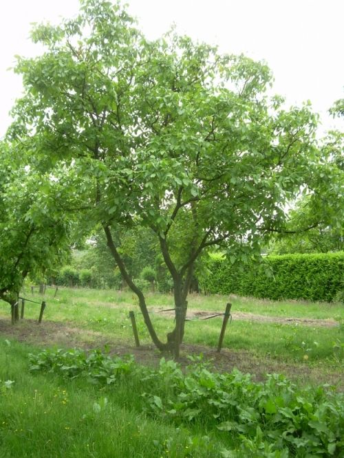 Juglans regia #tree #multitrunk #multistem www.vdberk.co.uk