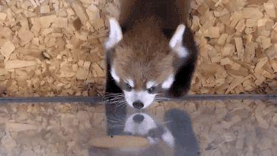 Endangered Species Panda Information Funny Gif #4361 - Funny Panda Gifs  Funny Gifs  Panda Gifs