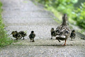 Canard et canetons en promenade