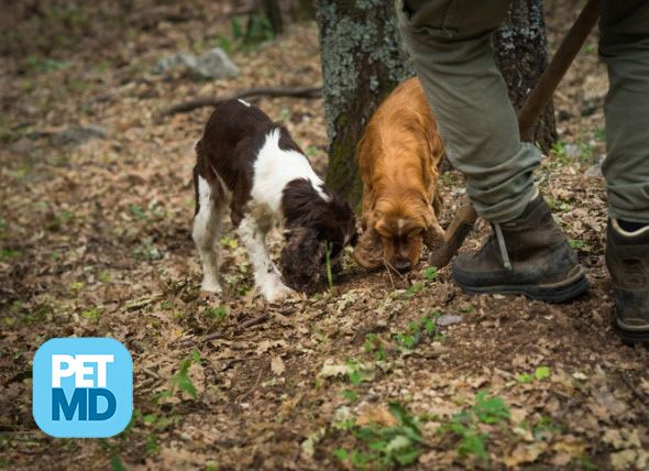 Truffle Dogs These Pups Are Trained To Hunt Fungi Dogs Dog