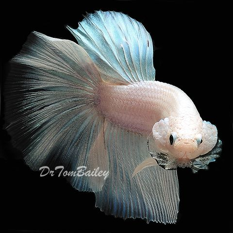 442 best images about betta fish on pinterest copper for Best betta fish