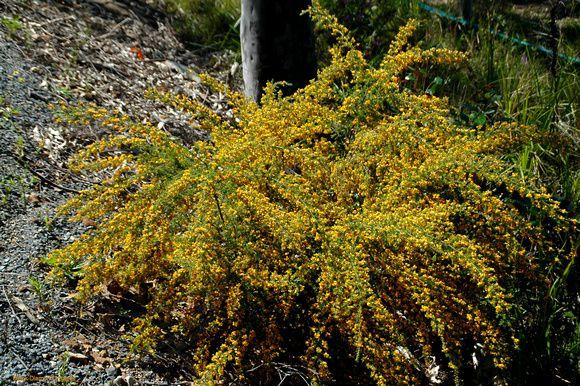 Pultenaea villosa (Kerosene Bush) (Brisbane- Dry Eucalypt Forest)