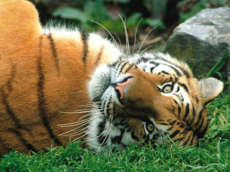 I love the siberian tiger and find it to be a very beautiful cat.