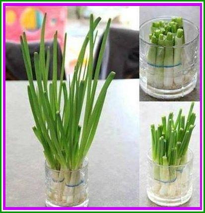 ++ Cómo cultivar cebolla de verdeo en casa++ Corta las hojas que vayas a usar, coloca el tallo en un recipiente de vidrio. Cubrí de agua las raíces. Coloca el recipiente cerca de la luz y voila!!! Uno o dos días después las hojas comienzan a crecer de nuevo! ¡Importante! mantene las raíces siempre cubiertas con agua! Foto por: Reciclagem, Jardinagem e Decoração.