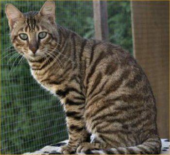 old sphynx cat