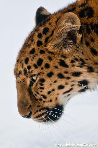 Amur Leopard IV by amrodel.deviantart.com