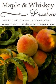 Maple Whiskey Peaches -- This post will show you step by step how to can peaches in a vanilla syrup with a splash of whiskey. The resulting preserve can be eaten out of the jar plain, are perfect on top of a cheesecake, waffles, or ice cream, or are a flavorful alternative to plain ol' peaches in a pie or crisp.