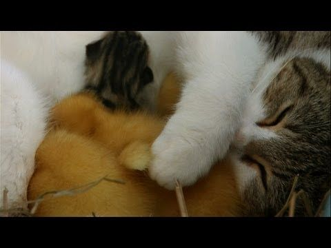 Look at this Cat of the Day: New Mama Adopts Ducklings